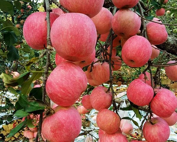 优质王林苹果多少钱_ 王林苹果供应相关-北京盛世果王农业科技发展有限公司