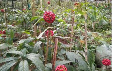 提供中药黑三七种子价格_三七相关-广南县富仁中药材种植农民专业合作社