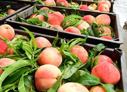 我们推荐礼盒柿子多少钱一盒_礼盒柿子相关-铜川市绿阳现代农业发展有限责任公司