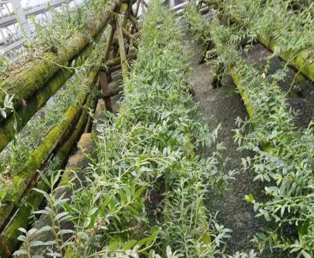 好的铁皮石斛驯化苗多少钱_铜仁销售-贵州沿河乌江生物科技发展有限公司