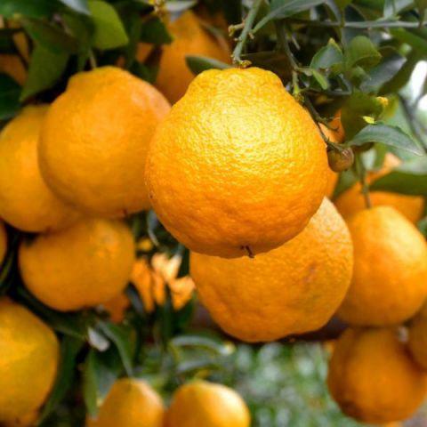 沙糖桔苗哪里买_柑橘苗价格-重庆市潼南区鸿发园林有限公司