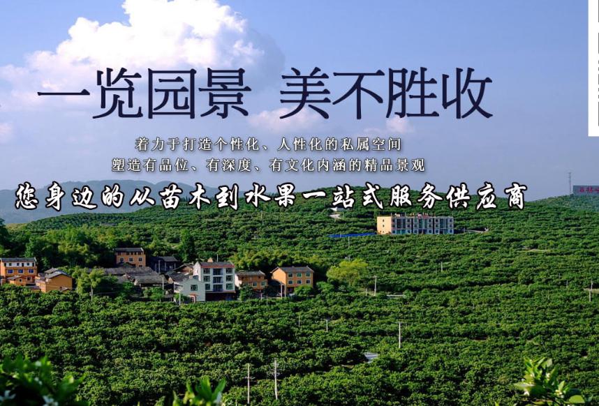 柑橘苗沙糖桔苗供应_沙糖桔苗厂家相关-重庆市潼南区鸿发园林有限公司