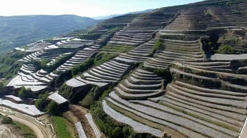 甘肃凤丹牡丹_山东市场-甘肃绿盟牡丹产业科技发展有限公司