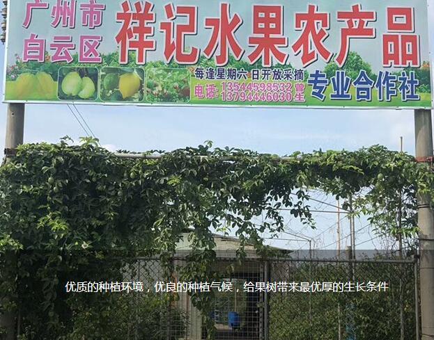 新鲜柠檬图片-广州市白云区祥记水果农产品专业合作社