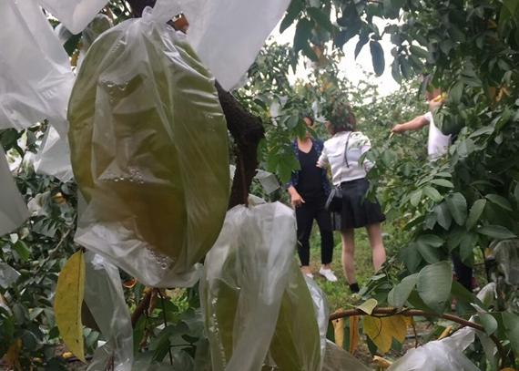 广州柠檬批发_白云区批发-广州市白云区祥记水果农产品专业合作社