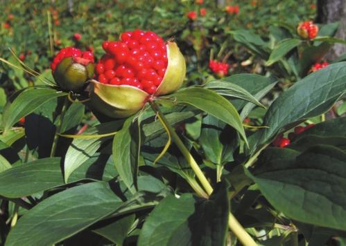 野生滇重楼怎么用_野生植物原药材种类-维西华峰中药材种植专业合作社