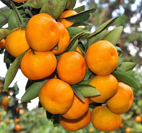 特色恩施水果怎么樣 野生恩施水果價格