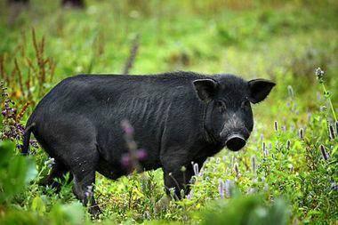 陕西黑猪肉_冷鲜黑猪肉相关-陕西秦爷黑猪肉类产业有限公司