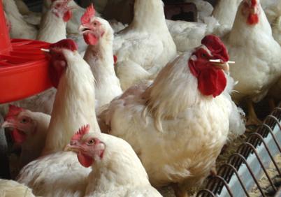 淘汰鸡销售_服务商鸡-玉屏周氏禽业发展有限公司